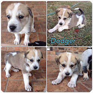 Shepherd (Unknown Type) Mix Puppy for adoption in Austin, Texas - Dodger