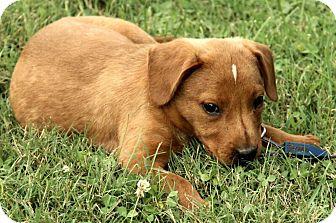Australian Cattle Dog/Labrador Retriever Mix Puppy for adoption in Windham, New Hampshire - Alexei