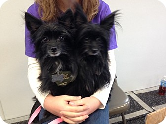 Yorkie, Yorkshire Terrier Mix Dog for adoption in Linden, New Jersey - Fay and Panda