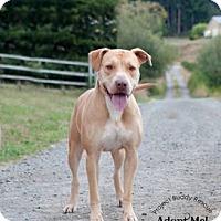 Adopt A Pet :: DADDY - Kingston, WA