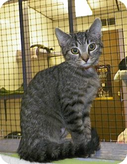Domestic Shorthair Kitten for adoption in Dover, Ohio - Bells