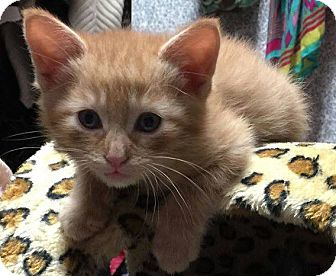 Maine Coon Kitten for adoption in Fort Worth, Texas - Louie