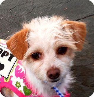 Terrier (Unknown Type, Small) Mix Dog for adoption in Santa Monica, California - DORI
