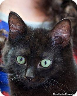 Domestic Mediumhair Kitten for adoption in Marietta, Georgia - Boudreaux