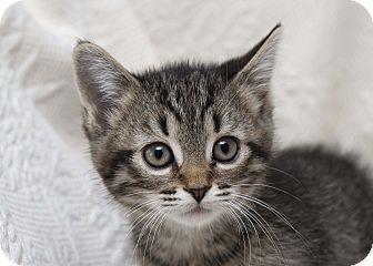 Domestic Shorthair Kitten for adoption in Bristol, Connecticut - Minnie