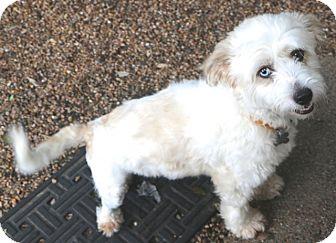 Lhasa Apso/Poodle (Miniature) Mix Dog for adoption in Allentown, Pennsylvania - Amy