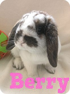 Lop-Eared Mix for adoption in Paramount, California - Berry