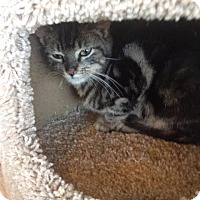 American Shorthair Kitten for adoption in Freeport, New York - Leonard