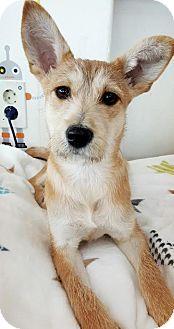 Jindo/Norwich Terrier Mix Dog for adoption in LONG ISLAND CITY, New York - Doori