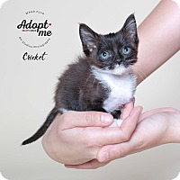 Adopt A Pet :: Cricket - Houston, TX