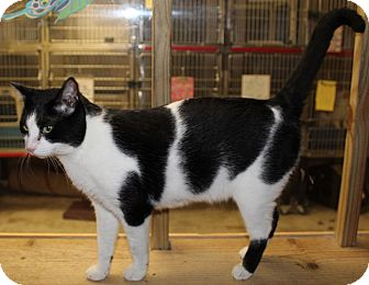 Domestic Shorthair Cat for adoption in Hopkinsville, Kentucky - KENNY