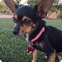 Adopt A Pet :: Lilac (Tripod) - Las Vegas, NV