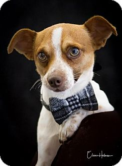Terrier (Unknown Type, Medium)/Chihuahua Mix Dog for adoption in Phelan, California - Roscoe