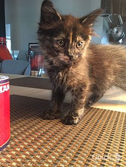 Domestic Mediumhair Kitten for adoption in Los Angeles, California - CARLY