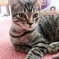 Domestic Shorthair Kitten for adoption in St. Paul, Minnesota - Jasper