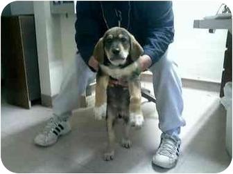 Beagle Mix Puppy for adoption in Thatcher, Arizona - Benjamin