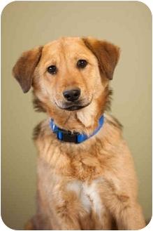 German Shepherd Dog/Golden Retriever Mix Dog for adoption in Portland, Oregon - Reese