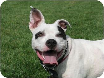 American Bulldog/American Pit Bull Terrier Mix Dog for adoption in Brazil, Indiana - Otis