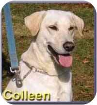 Labrador Retriever Mix Dog for adoption in Aldie, Virginia - Colleen