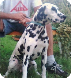Dalmatian Dog for adoption in Steger, Illinois - Dottie