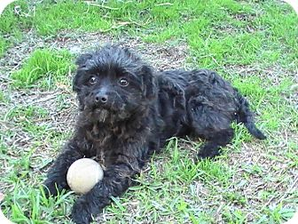 Poodle (Toy or Tea Cup) Dog for adoption in El Cajon, California - PRINCE, 6 Lbs!