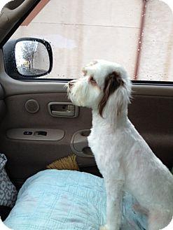 Havanese Mix Dog for adoption in Gustine, California - JAXXON