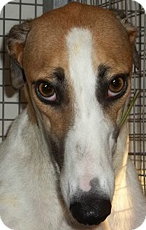 Greyhound Dog for adoption in Longwood, Florida - Starz Jaque