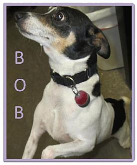 Fox Terrier (Smooth) Dog for adoption in Geneseo, Illinois - Bob