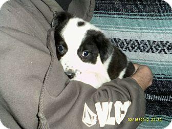 Border Collie Mix Puppy for adoption in Dundas, Virginia - Elijah