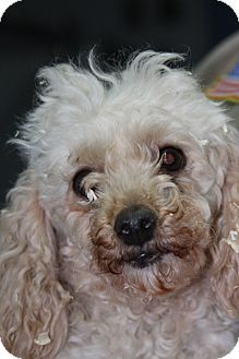 Poodle (Miniature) Dog for adoption in Crumpler, North Carolina - Rosie