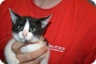 Domestic Shorthair Kitten for adoption in Edwardsville, Illinois - Niagara