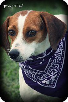 Beagle Mix Dog for adoption in Glastonbury, Connecticut - Faith