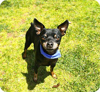 Miniature Pinscher Dog for adoption in El Cajon, California - Virgil