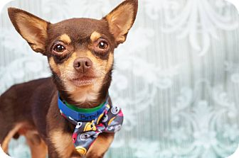 Chihuahua/Miniature Pinscher Mix Dog for adoption in Phoenix, Arizona - Brock