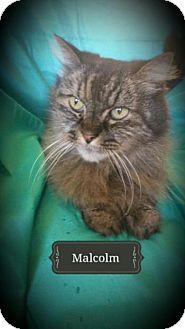 Siberian Cat for adoption in Davis, California - Malcolm