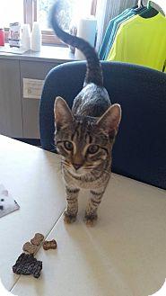 Domestic Shorthair Cat for adoption in China, Michigan - Jamaica