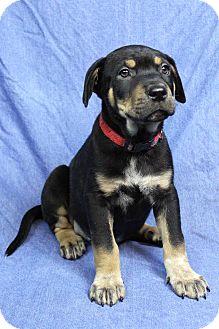 Shepherd (Unknown Type)/Australian Shepherd Mix Puppy for adoption in Westminster, Colorado - Tag
