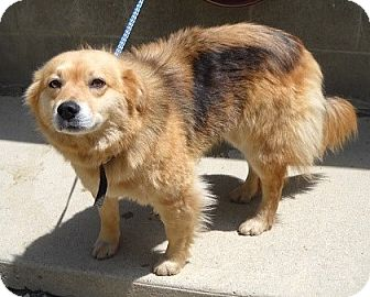 Golden Retriever/Collie Mix Dog for adoption in Minneapolis, Minnesota - Lulu
