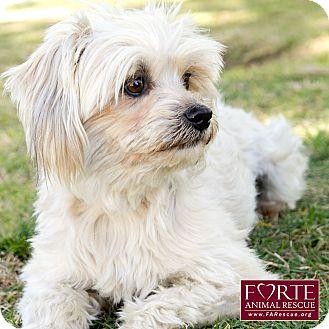 Maltese/Lhasa Apso Mix Dog for adoption in Marina del Rey, California - Caroline