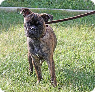 Boston Terrier/Pug Mix Puppy for adoption in Harrisonburg, Virginia - Jeremiah