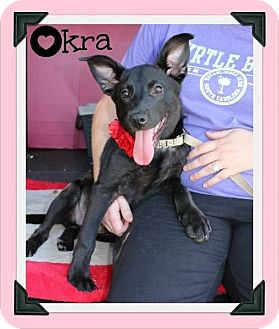 Labrador Retriever/Shepherd (Unknown Type) Mix Puppy for adoption in Cleburne, Texas - Okra