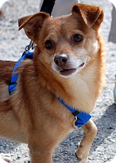 Chihuahua/Terrier (Unknown Type, Small) Mix Dog for adoption in Hayden, Idaho - Ross