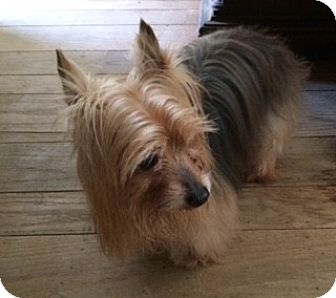 Yorkie, Yorkshire Terrier Dog for adoption in Oakland, California - Prince