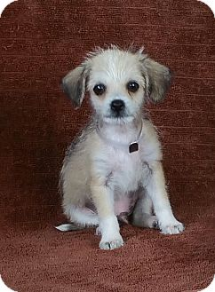 Chihuahua Mix Puppy for adoption in Houston, Texas - PANCHITO (pending)