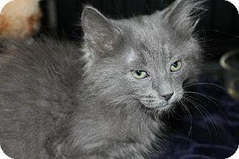 Russian Blue Kitten for adoption in Phoenix, Arizona - Mufasa