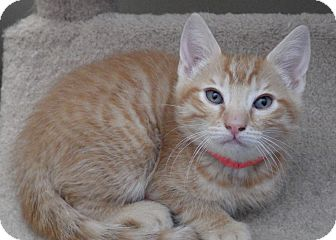 Domestic Shorthair Kitten for adoption in Quail Valley, California - Finn