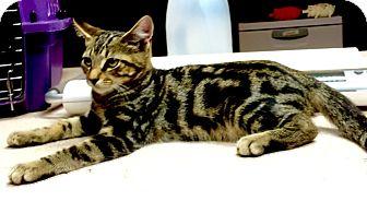 Domestic Shorthair Kitten for adoption in LaGrange, Kentucky - Robin