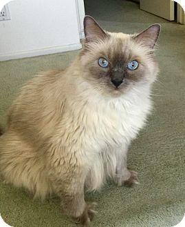 Himalayan Cat for adoption in Canoga Park, California - Max