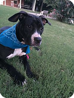 American Pit Bull Terrier Mix Dog for adoption in Oxford, Connecticut - Sadie