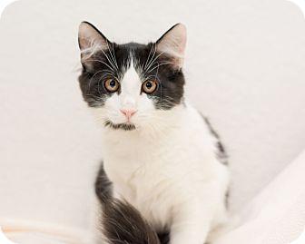 Domestic Longhair Cat for adoption in Fountain Hills, Arizona - Mimi